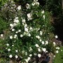 Iceburg floribunda behind a Rosa 'Kent' ground cover/shrub rose the 2 go so well together flowering all summer long