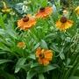 Helenium 'Sahin's Early Flowerer' - 2019 (Helenium)