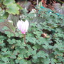 First Cyclamen (Cyclamen hederifolium (Hardy cyclamen))