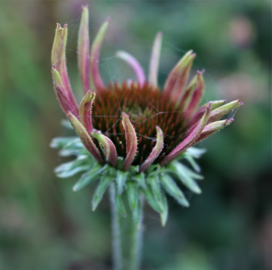 Echinacea with Spider's Web