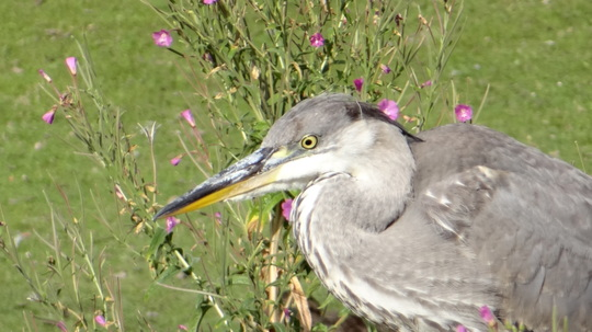 Young Heron seen at the River Gardens this morning.