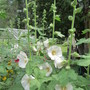 8698 Hollyhocks 2019