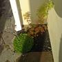 acer november (Acer palmatum)