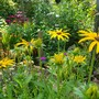 Rudbeckia in flower... (Rudbeckia fulgida (Black-eyed Susan))