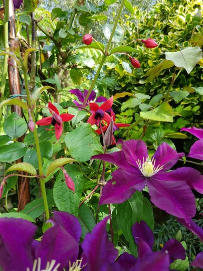 Clematis with climbing fuchsias Lady Boothby. (Fuchsia climbing)