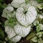 Brunnera Silver Spear..