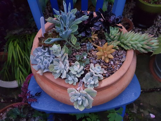 Pot of succulents on blue chair....