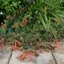 Zauschneria californica 'Dublin' - 2019 (Zauschneria californica)