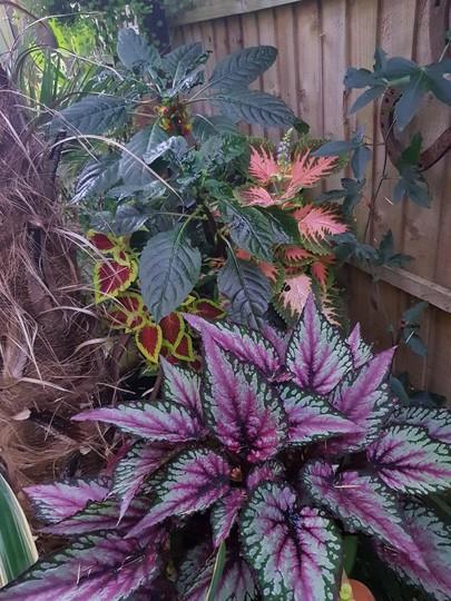 Begonia rex Coleus and Congo Cockatoo.....