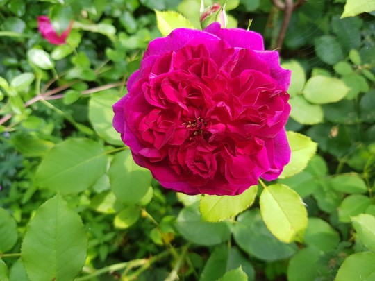 Rosa Munster Wood.... (Rosa Munstead Wood.)