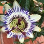 First passion flower