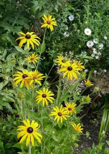 Rudbeckia fulgida 'Goldsturm' - 2019 (Rudbeckia fulgida)