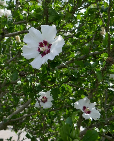 Hibiscus syriacus 'Red Heart' (close-up) - 2019 (Hibiscus syriacus)