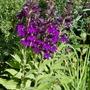 Lobelia x speciosa 'Hadspen Purple' - 2019 (Lobelia x speciosa)