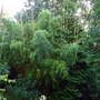 my Bamboo glade increases each year.