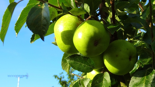 Apples coming along nicely.