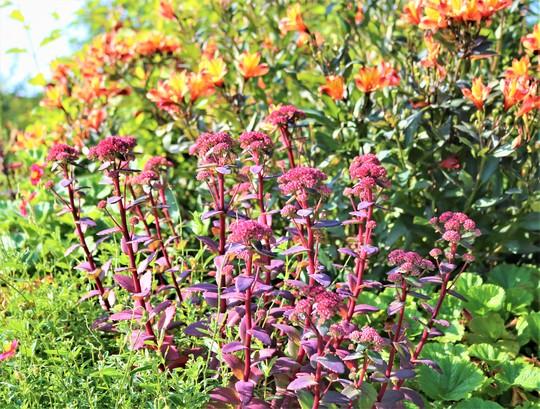 Sedum 'Red Cauli' in front of Alstroemeria 'Indian Summer' (Sedum.)
