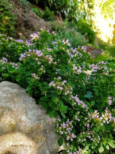 Oregano (Origanum vulgare (Oregano))
