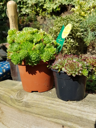 Sempervivum  (Sempervivum tectorum (Common Houseleek))