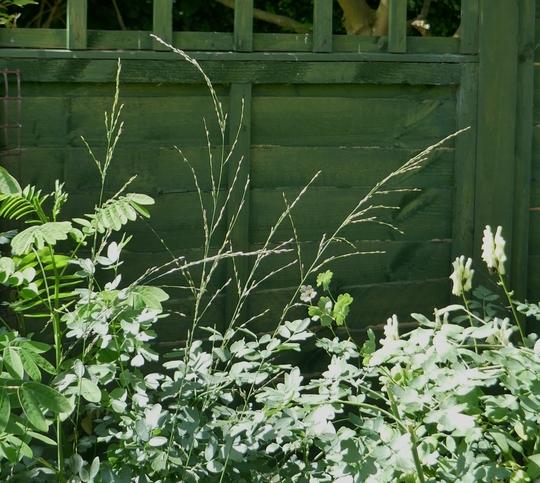 Molinia caerulea 'Heidebraut' - 2019 (Molinia caerulea)