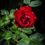 Last Red Rose of the Year