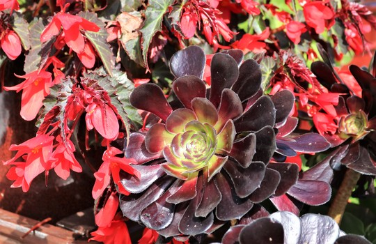 Aeonium with Begonia