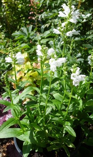 Physostegia virginiana 'Crown of Snow' (Physostegia virginiana (Obedient plant))