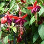 Closer look at Fuchsia 'Lady Boothby'