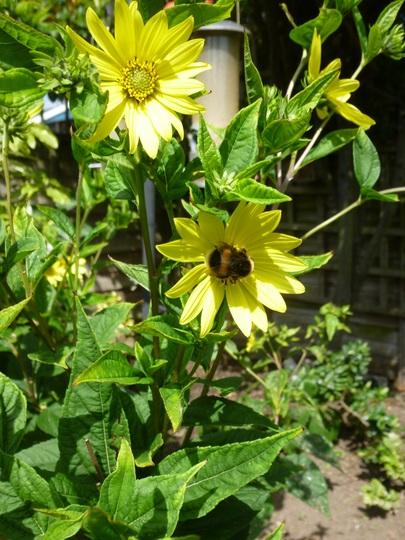 Helianthus 'Lemon Queen' with Bee
