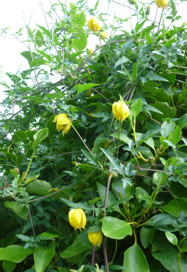 Clematis tangutica scrambling through Griselinia
