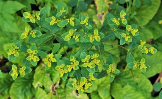 Euphorbia oblongata (Euphorbia oblongata)