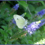 Veronica with Cabbage White Butterfly