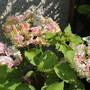 Hydrangea 'Wedding Gown' now turning pinker