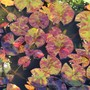 Beautiful Lily Pads Showing Red Variegation