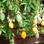 Passiflora  White lightning  fruit
