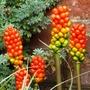 Arum_italicum_subsp.marmoratum