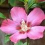 Hibiscus_woodbridge