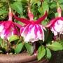 Fuchsia 'Jose Tamerus'