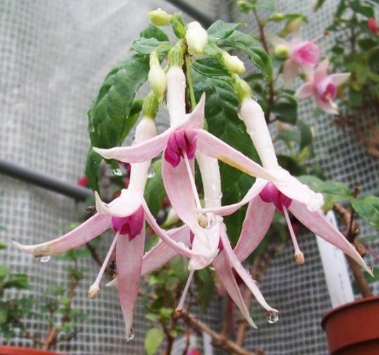 Fuchsia 'Maetsukier'
