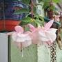 Fuchsia 'Trudy Davro'
