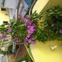 Flowering Bignonia in my terrace