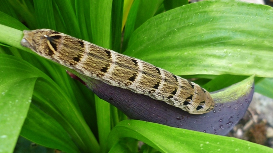 Elephant Hawkmoth caterpillar.