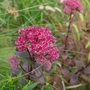 Sedum 'Red Cauli' - 2019 (Sedum spectabile)