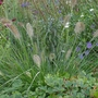 Pennisetum alopecuroides 'Hameln' - 2019 (Pennisetum alopecuroides 'Hameln')