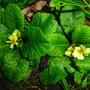 Primrose flowering in August