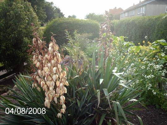 July 2008 (Yucca filamentosa)