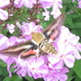 8969 Hummingbird Moth in Phlox