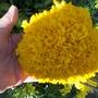 Giant size French marigolds