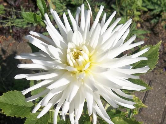 Dahlia - white