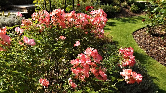 Bush rose full of blooms.